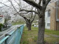 2018-04-17千厩支所の桜ーしろぷーうさぎ77