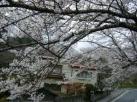 2018-04-17千厩支所の桜ーしろぷーうさぎ76