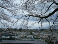 2018-04-17千厩支所の桜ーしろぷーうさぎ75