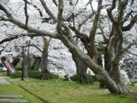 2018-04-17千厩支所の桜ーしろぷーうさぎ73
