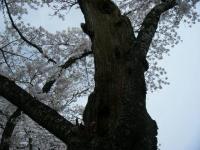 2018-04-17千厩支所の桜ーしろぷーうさぎ86