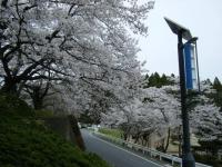2018-04-17千厩支所の桜ーしろぷーうさぎ94