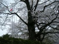 2018-04-17千厩支所の桜ーしろぷーうさぎ91