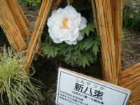 2018-05-13花と泉の公園-牡丹園003