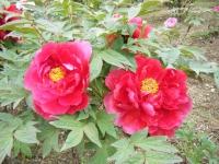 2018-05-13花と泉の公園-牡丹園011