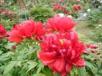 2018-05-13花と泉の公園-牡丹園009