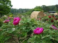 2018-05-13花と泉の公園-牡丹園008