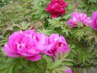 2018-05-13花と泉の公園-牡丹園018