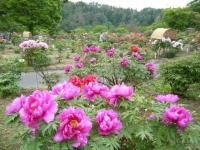 2018-05-13花と泉の公園-牡丹園015