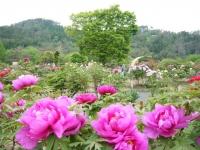 2018-05-13花と泉の公園-牡丹園019
