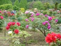 2018-05-13花と泉の公園-牡丹園017