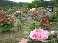 2018-05-13花と泉の公園-牡丹園014