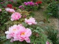 2018-05-13花と泉の公園-牡丹園013