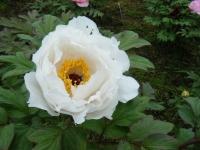 2018-05-13花と泉の公園-牡丹園023