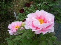 2018-05-13花と泉の公園-牡丹園024