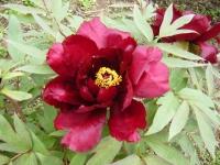 2018-05-13花と泉の公園-牡丹園021