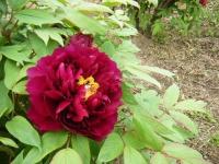 2018-05-13花と泉の公園-牡丹園016