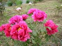 2018-05-13花と泉の公園-牡丹園029