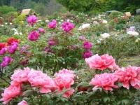 2018-05-13花と泉の公園-牡丹園028