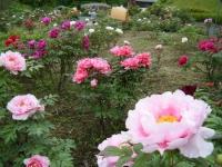 2018-05-13花と泉の公園-牡丹園027