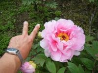 2018-05-13花と泉の公園-牡丹園026