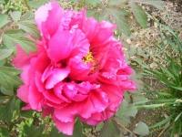 2018-05-13花と泉の公園-牡丹園035