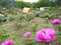 2018-05-13花と泉の公園-牡丹園036