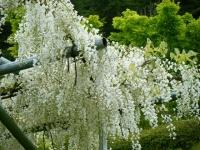 2018-05-13花と泉の公園-牡丹園034