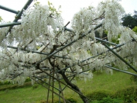 2018-05-13花と泉の公園-牡丹園033