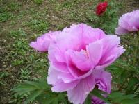 2018-05-13花と泉の公園-牡丹園040
