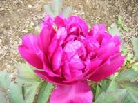 2018-05-13花と泉の公園-牡丹園039