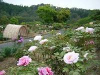 2018-05-13花と泉の公園-牡丹園038