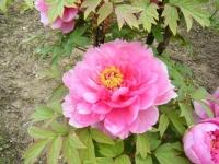 2018-05-13花と泉の公園-牡丹園048