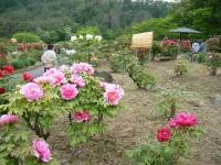2018-05-13花と泉の公園-牡丹園045