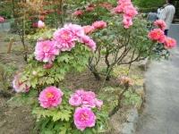 2018-05-13花と泉の公園-牡丹園046