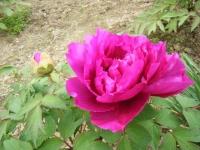 2018-05-13花と泉の公園-牡丹園044