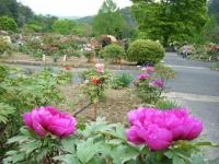 2018-05-13花と泉の公園-牡丹園043