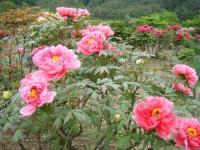 2018-05-13花と泉の公園-牡丹園053