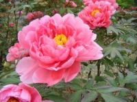 2018-05-13花と泉の公園-牡丹園052