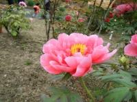 2018-05-13花と泉の公園-牡丹園051