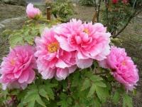 2018-05-13花と泉の公園-牡丹園050