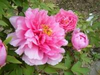 2018-05-13花と泉の公園-牡丹園049