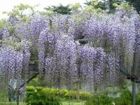 2018-05-13花と泉の公園-牡丹園060
