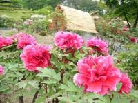2018-05-13花と泉の公園-牡丹園058