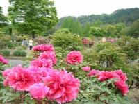 2018-05-13花と泉の公園-牡丹園057
