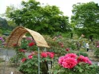 2018-05-13花と泉の公園-牡丹園056