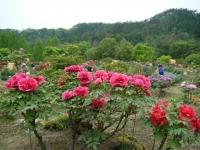 2018-05-13花と泉の公園-牡丹園055
