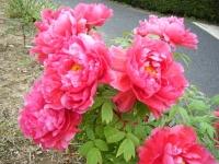 2018-05-13花と泉の公園-牡丹園066