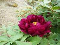 2018-05-13花と泉の公園-牡丹園064