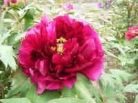 2018-05-13花と泉の公園-牡丹園063